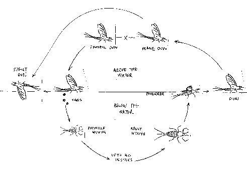 Life Cycle Of The Mayfly Order Ephemeroptera Mayfly Fishonfly