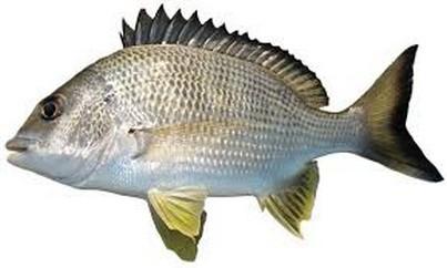yellowfin-bream